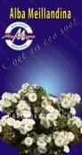 Роза миниатюрная ALBA MEILLANDINA