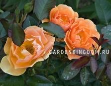 Роза флорибунда AMBER QUEEN
