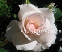 Роза флорибунда ASPIRIN
