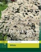 Астра многолетняя кустарниковая WHITE, 1 шт.