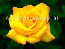Роза миниатюрная BABY GOLD STAR