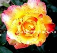 Роза флорибунда CAMILLE PISSARRO