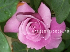 Роза чайно-гибридная CHARLES DE GAULLE