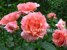 Роза плетистая COMPASSION