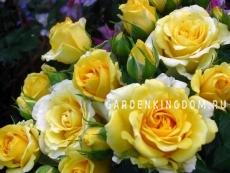 Роза флорибунда COMTESSE DE BARRY