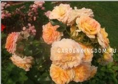 Роза почвопокровная CONCERT