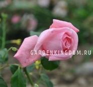 Роза плетистая CORAL DAWN