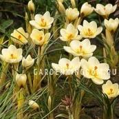 Крокус крупноцветковый CREAM BEAUTY, 20 шт