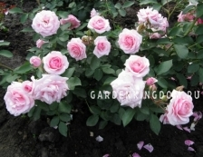 Роза флорибунда DIADEM