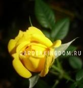 Роза миниатюрная DOROLA