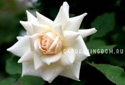 Роза флорибунда EDELWEISS