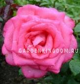 Роза чайно-гибридная ESMERALDA