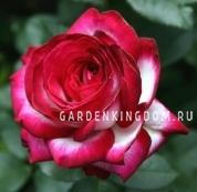 Роза чайно-гибридная FAIR LADY
