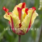 Тюльпан попугайный  FLAMING PARROT, 3 шт