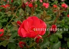 Роза почвопокровная FUXIA