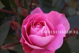 Роза флорибунда GALA CHARLES AZNAVOUR