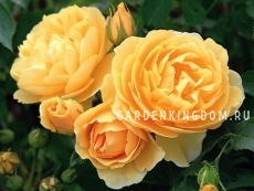 Роза густо-махровая GRAHAM THOMAS