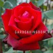 Роза чайно-гибридная JACQUES PREVERT