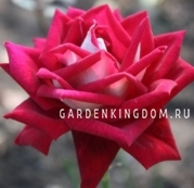 Роза чайно-гибридная KRONENBURG