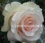 Роза чайно-гибридная LA BELLA