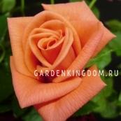 Роза флорибунда LAMBADA