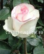 Роза чайно-гибридная LAURA