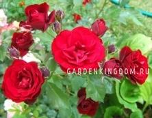 Роза флорибунда LAVAGLUT