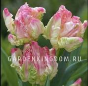 Тюльпан попугайный  LIBRETTO PARROT, 3 шт