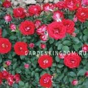 Роза миниатюрная MAIDY