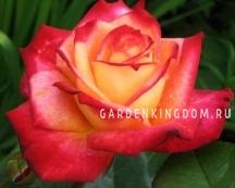 Роза флорибунда MEIN MUNCHEN