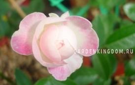 Роза миниатюрная MINI BOKA