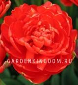 Тюльпан пионовидный  MIRANDA, 3 шт