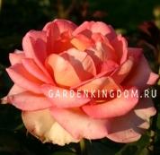 Роза чайно-гибридная MONDIALE