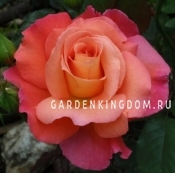 Роза парковая (грандифлора)  MORGENROTE