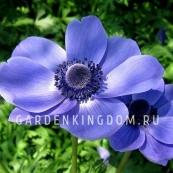 Анемона коронария MR. FOKKER, 5 шт