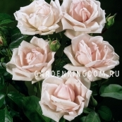 Роза плетистая NEW DAWN