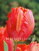 Тюльпан попугайный  ORANGE FAVOURITE, 3 шт