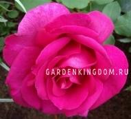 Роза чайно-гибридная PAROLE