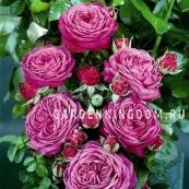 Роза миниатюрная PERLA DE MOSEDO