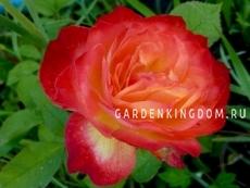Роза флорибунда PIGALLE 85
