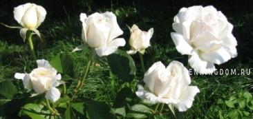 Роза чайно-гибридная POKER