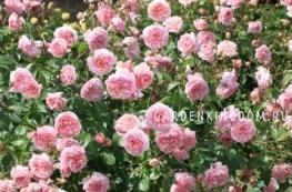Роза густо-махровая ABRAHAM DARBY