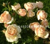 Роза парковая (грандифлора)  HENRIETTA