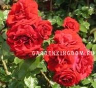 Роза плетистая AMADEUS