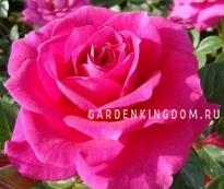 Роза плетистая GLORIANA