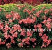 Роза почвопокровная DOUCEUR NORMANDE