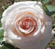 Роза чайно-гибридная HELENA