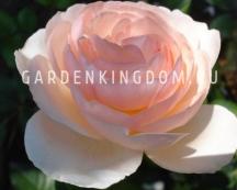 Роза густо-махровая HERITAGE
