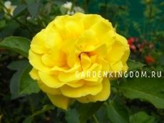 Роза плетистая GOLDSCHTERN