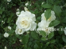 Роза парковая (грандифлора)  SCHNEEWITTCHEN